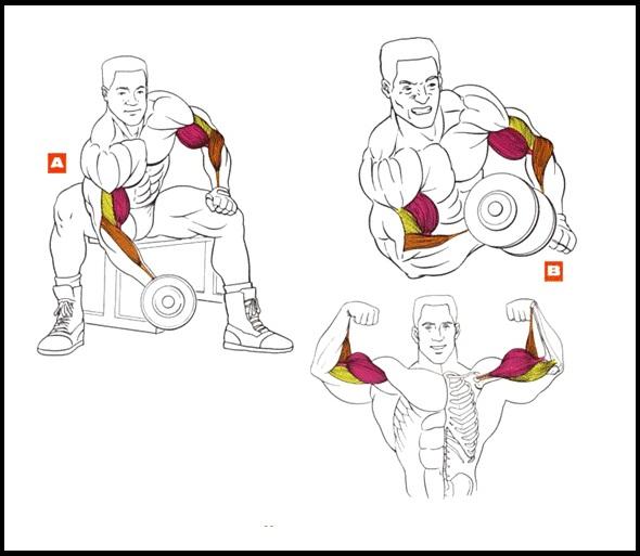 Эффективные упражнения на бицепс